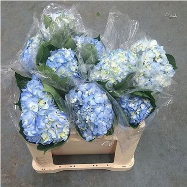 Annabelle flowers range size sort relevance page