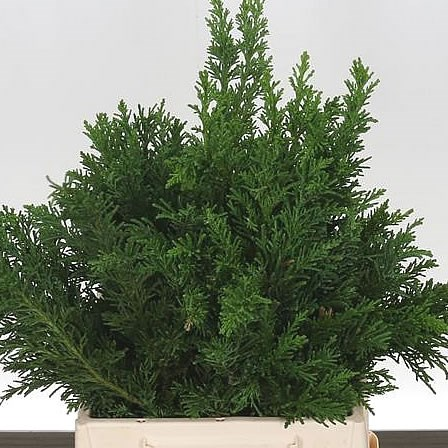 CONIFER - GREEN