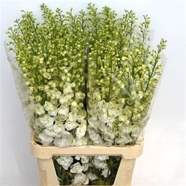 Delphinium du. Candle White Shades