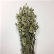 Dried - Phalaris