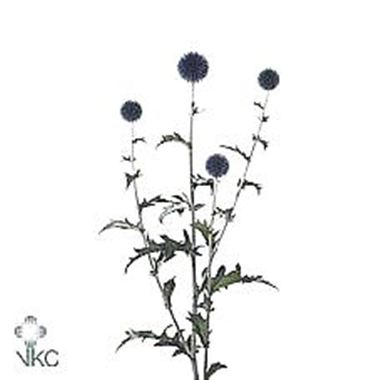 Echinops veitch blue (Spray)
