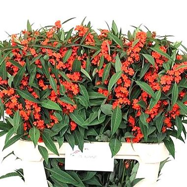 Euphorbia Fulgens Queen of Orange