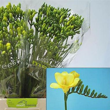 Freesia gold river single