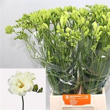 Weekly special - FREESIA VOLANTE