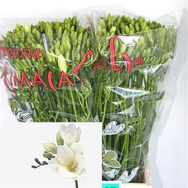 Freesia white river single