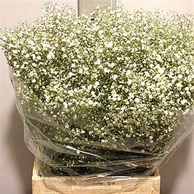 Gypsophila dynamic love