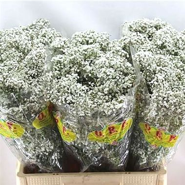 Gypsophila gypso king