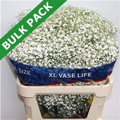 Gypsophila Bulk Pack (Large headed)
