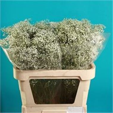 Gypsophila million stars - ecuadorian