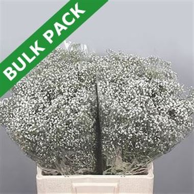 Gypsophila Bulk Pack (Small headed)