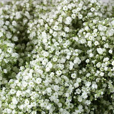 Gypsophila A1 Starburst  (Small Headed)