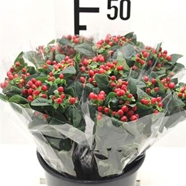 Hypericum - 5 stem bunches