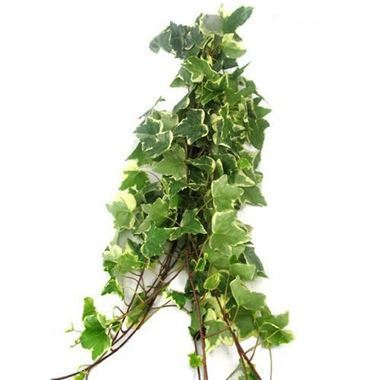 Ivy Trails Variegated 70cm