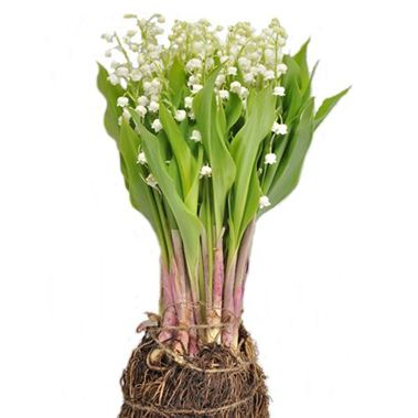Lily Of The Valley - Convallaria (inc. root ball)