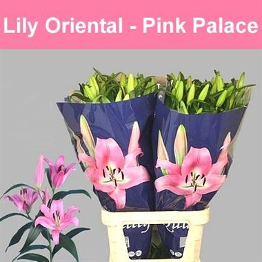 Lily Oriental - Pink Palace
