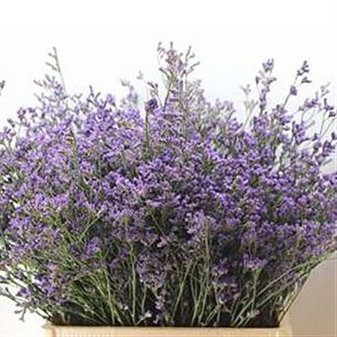 Limonium michigan blue