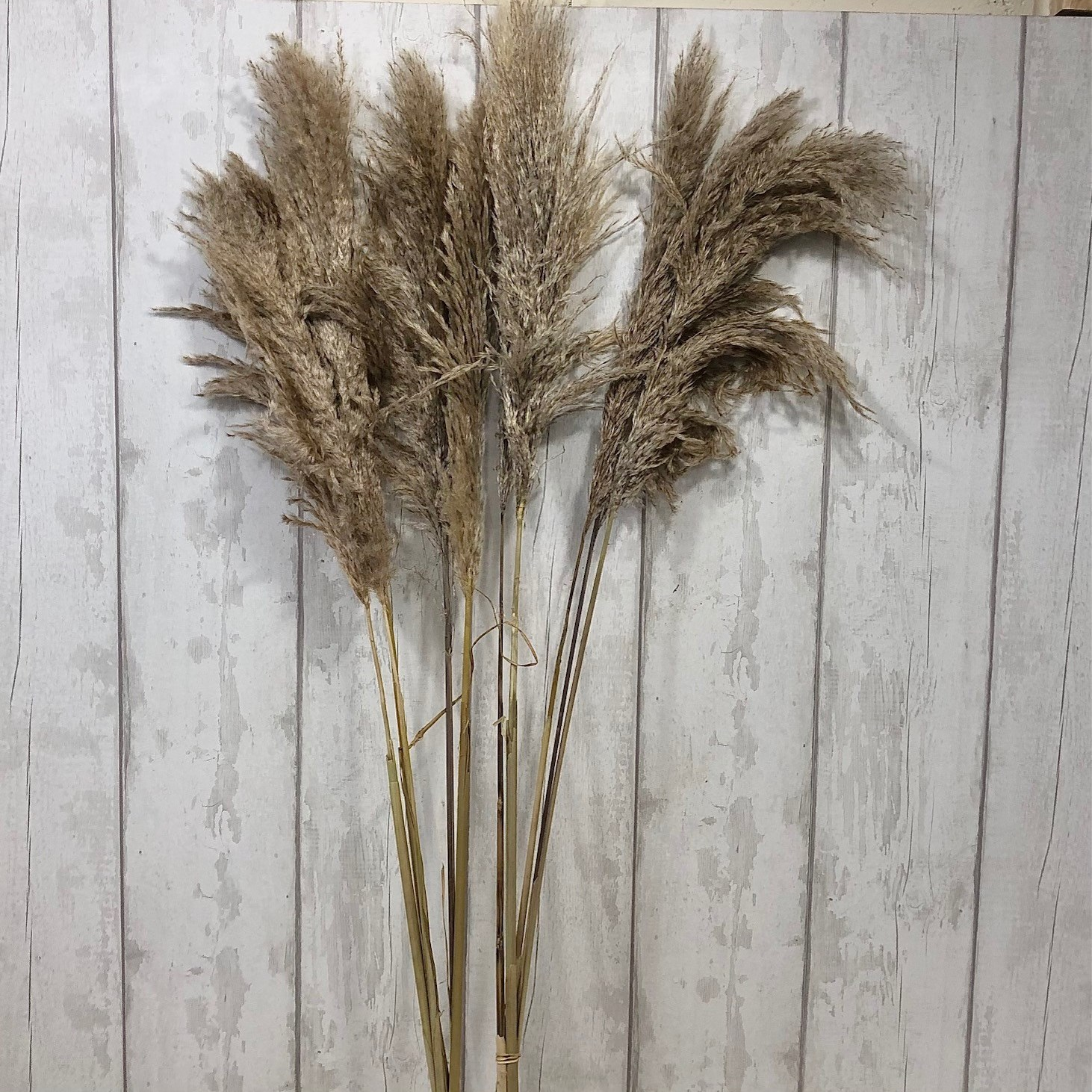 A1 Cortaderia Pampas Grass (Dried)