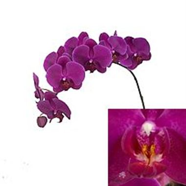Phalaenopsis Orchid - anthura cape town