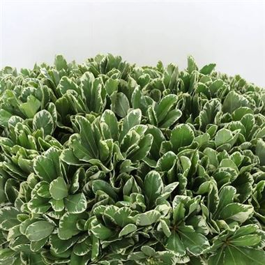 Pittosporum Ilan 60cm (Large Leaf)