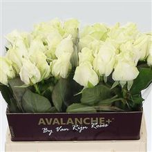 Rose avalanche 40cm (Small-Headed)