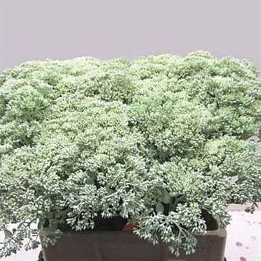 Sedum Painted Light Green