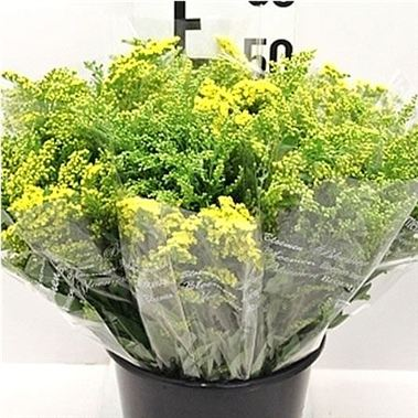 Solidago Mix - 5 stem bunches