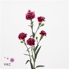 Carnation spr. Raspberry Ripple