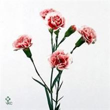 Carnation spr. Scarlette Plus