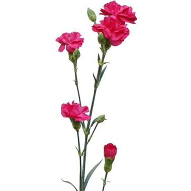 Carnation SPR. Hot Pink