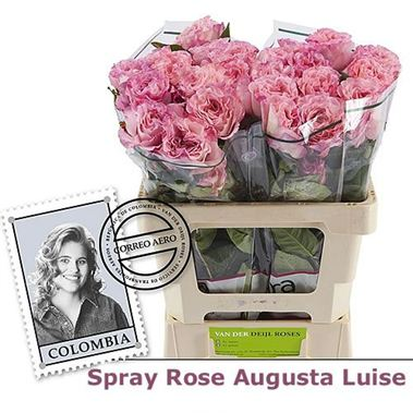 Rose Spray augusta luise