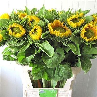 Helianthus Vincent's Fresh