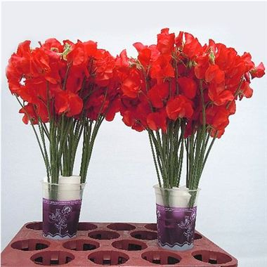 Sweet Peas red (shades will vary)