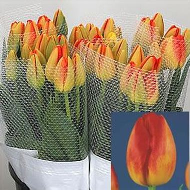 Tulips - French Prince Claus