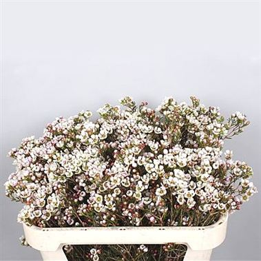 Waxflower Guy