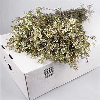 Waxflower Ivory Pearl