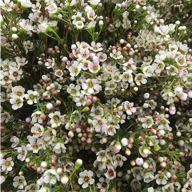 Waxflower wholesale flowers uk wedding flowers triangle nursery waxflower maya mightylinksfo