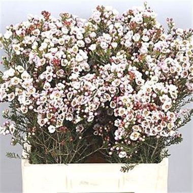 Waxflower moonlight delight