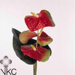 Anthurium amigo x 8 (V large)