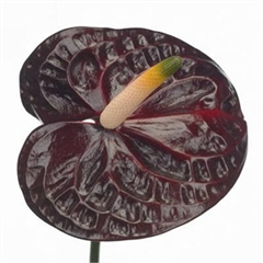 Anthurium Black Queen x 12