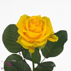 rose susan 70cm wholesale flowers florist supplies uk. Black Bedroom Furniture Sets. Home Design Ideas