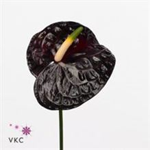 Anthurium black queen x 15