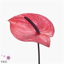 Anthurium candy x 12